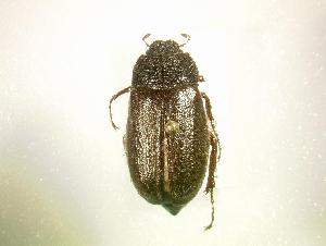(Phyllophaga marginalis - MP1229)  @14 [ ] Unspecified (default): All Rights Reserved  Unspecified Unspecified