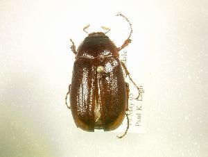 (Phyllophaga hirtiventris - MP1309)  @14 [ ] Unspecified (default): All Rights Reserved  Unspecified Unspecified