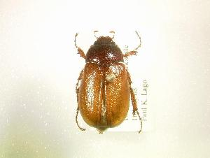 (Phyllophaga implicita - MP1319)  @14 [ ] Unspecified (default): All Rights Reserved  Unspecified Unspecified