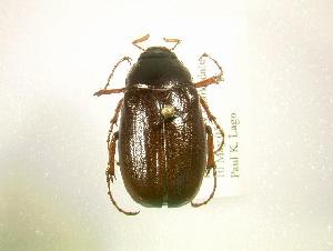 (Phyllophaga congrua - MP1324)  @14 [ ] Unspecified (default): All Rights Reserved  Unspecified Unspecified