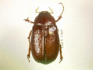 (Phyllophaga arkansana - MP1339)  @14 [ ] Unspecified (default): All Rights Reserved  Unspecified Unspecified
