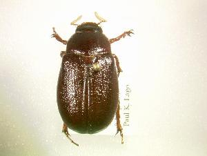 (Phyllophaga arkansana - MP1340)  @14 [ ] Unspecified (default): All Rights Reserved  Unspecified Unspecified