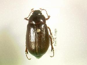 (Phyllophaga spreta - MP1347)  @14 [ ] Unspecified (default): All Rights Reserved  Unspecified Unspecified