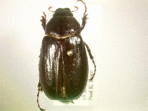(Phyllophaga lodingi - MP1348)  @14 [ ] Unspecified (default): All Rights Reserved  Unspecified Unspecified