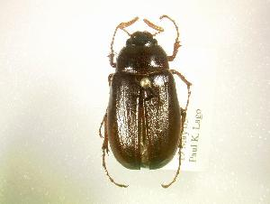 (Phyllophaga spreta - MP1349)  @14 [ ] Unspecified (default): All Rights Reserved  Unspecified Unspecified