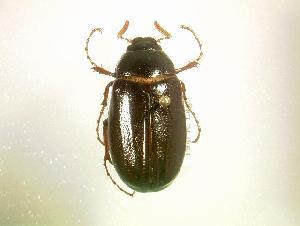 (Phyllophaga spreta - MP1350)  @14 [ ] Unspecified (default): All Rights Reserved  Unspecified Unspecified