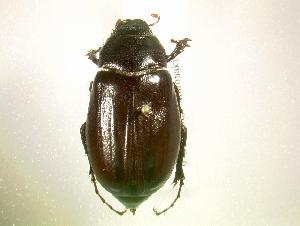 (Phyllophaga lodingi - MP1365)  @14 [ ] Unspecified (default): All Rights Reserved  Unspecified Unspecified