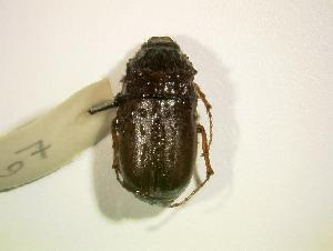 (Phyllophaga hirsuta - MP667)  @14 [ ] Unspecified (default): All Rights Reserved  Unspecified Unspecified