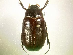 (Phyllophaga hornii - MP779)  @15 [ ] Unspecified (default): All Rights Reserved  Unspecified Unspecified