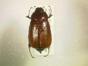 (Phyllophaga tecta - MP808)  @14 [ ] Unspecified (default): All Rights Reserved  Unspecified Unspecified