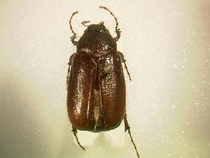 (Phyllophaga hirticula - MP830)  @14 [ ] Unspecified (default): All Rights Reserved  Unspecified Unspecified