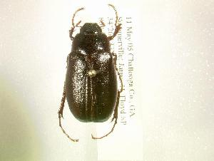 (Phyllophaga paternoi - MP854)  @14 [ ] Unspecified (default): All Rights Reserved  Unspecified Unspecified