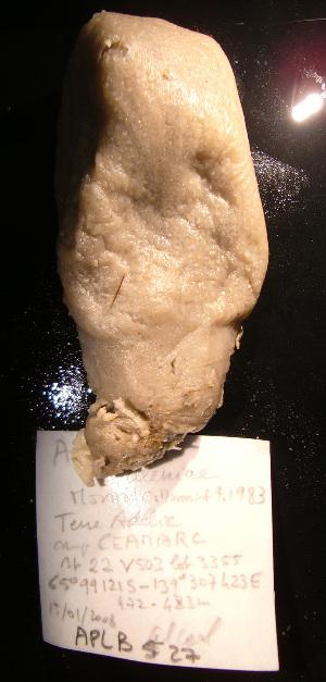 (Aplidium balleniae - A1APLB527)  @12 [ ] CreativeCommons - Attribution Non-Commercial Share-Alike (2011) A. Dettai Museum National Histoire Naturelle