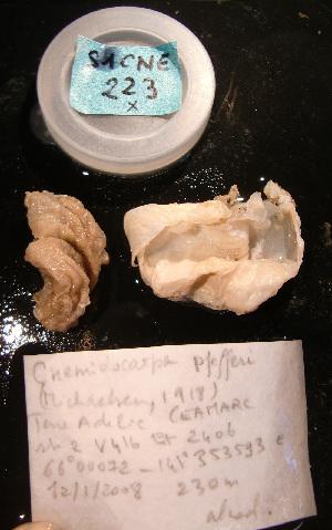 (Cnemidocarpa pfefferi - S1CNE223)  @13 [ ] CreativeCommons - Attribution Non-Commercial Share-Alike (2011) A. Dettai Museum National Histoire Naturelle