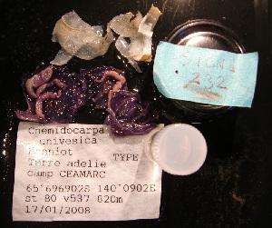 (Cnemidocarpa univesica - S1CNE232)  @13 [ ] CreativeCommons - Attribution Non-Commercial Share-Alike (2011) A. Dettai Museum National Histoire Naturelle