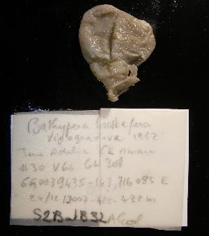 (Bathypera hastaefera - S2BATB32)  @11 [ ] CreativeCommons - Attribution Non-Commercial Share-Alike (2011) A. Dettai Museum National Histoire Naturelle