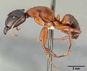 (Camponotus semitestaceus - CASENT0505302)  @13 [ ] Unspecified (default): All Rights Reserved  Unspecified Unspecified