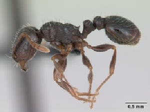 (Tetramorium caespitum_cf - CASENT0009714-D01)  @13 [ ] Unspecified (default): All Rights Reserved  Unspecified Unspecified