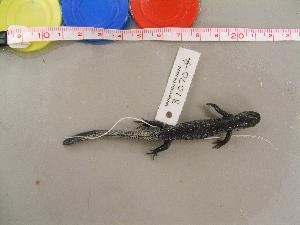 (Ambystoma laterale - AMLAT-CMNAR 31070-04)  @13 [ ] Unspecified (default): All Rights Reserved  Unspecified Unspecified