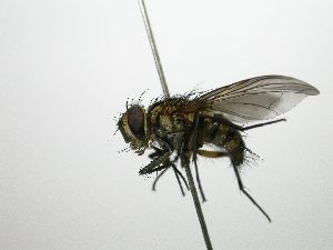 (Eulobomyia - Haber 000201)  @15 [ ] Unspecified (default): All Rights Reserved  Unspecified Unspecified