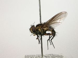 (Eulobomyia - Haber 000231)  @15 [ ] Unspecified (default): All Rights Reserved  Unspecified Unspecified