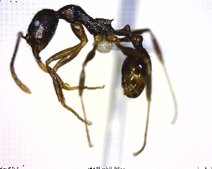 (Aphaenogaster sp. 01 - CCDB-10835-G04)  @14 [ ] CreativeCommons - Attribution Non-Commercial Share-Alike (2011) M. Alex Smith Biodiversity Institute of Ontario