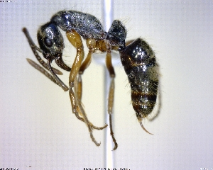 (Pachycondyla unidentata - BIOUG00817-A03)  @15 [ ] CreativeCommons - Attribution Non-Commercial Share-Alike (2011) M. Alex Smith Centre for Biodiversity Genomics