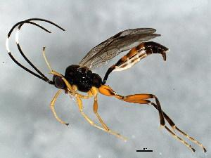 (Oxytorinae - ASGLE-0967)  @14 [ ] CreativeCommons - Attribution Non-Commercial Share-Alike (2011) CBG Photography Group Centre for Biodiversity Genomics
