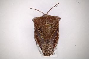 (Peromatus - INB0003094697)  @15 [ ] Copyright (2012) Jim Lewis Instituto Nacional de Biodiversidad