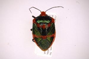 (Pharypia - INB0003318046)  @15 [ ] Copyright (2012) Jim Lewis Instituto Nacional de Biodiversidad