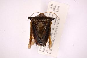 (Edessa projecta - INB0003703532)  @14 [ ] Copyright (2012) Jim Lewis Instituto Nacional de Biodiversidad