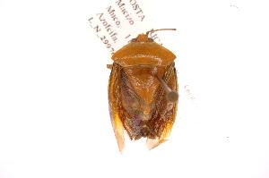 (Edessa sp34 - INB0003771616)  @13 [ ] Copyright (2012) Jim Lewis Instituto Nacional de Biodiversidad
