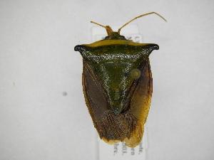 (Edessa sp39 - INB0003779367)  @15 [ ] Copyright (2012) Jim Lewis Instituto Nacional de Biodiversidad