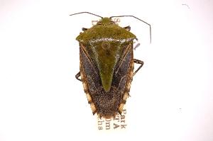 (Edessa celsa - INB0003801607)  @11 [ ] Copyright (2012) Jim Lewis Instituto Nacional de Biodiversidad