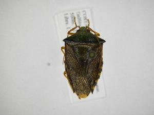 (Edessa eburatula - INB0003836598)  @11 [ ] Copyright (2012) Jim Lewis Instituto Nacional de Biodiversidad