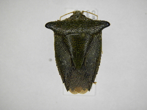 (Edessa bugabensis - INB0003838061)  @15 [ ] Copyright (2012) Jim Lewis Instituto Nacional de Biodiversidad