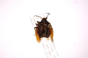 (Antiteuchus - INB0003841063)  @11 [ ] Copyright (2012) Jim Lewis Instituto Nacional de Biodiversidad