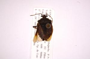 (Eritrachys - INB0003878616)  @12 [ ] Copyright (2012) Jim Lewis Instituto Nacional de Biodiversidad