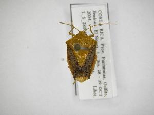 (Edessa loxdalii - INB0003891993)  @11 [ ] Copyright (2012) Jim Lewis Instituto Nacional de Biodiversidad