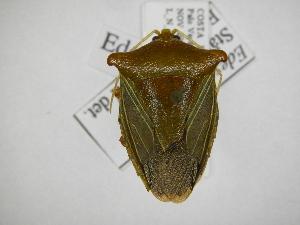 (Edessa olivacea - INB0003893049)  @15 [ ] Copyright (2012) Jim Lewis Instituto Nacional de Biodiversidad