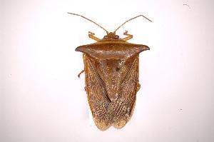 (Edessa reticulata - INB0003930858)  @11 [ ] Copyright (2012) Jim Lewis Instituto Nacional de Biodiversidad
