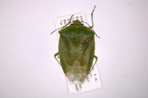 (Chinavia - INB0003943398)  @15 [ ] Copyright (2012) Jim Lewis Instituto Nacional de Biodiversidad