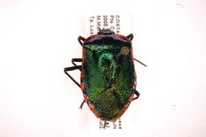 (Pentatomidae - INB0003947047)  @17 [ ] Copyright (2012) Jim Lewis Instituto Nacional de Biodiversidad