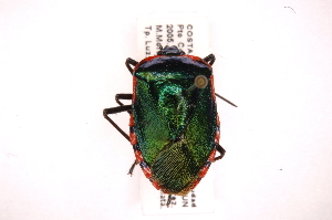 (Hemiptera - INB0003947047)  @17 [ ] Copyright (2012) Jim Lewis Instituto Nacional de Biodiversidad