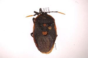 (Dinidor - INB0003959698)  @14 [ ] Copyright (2012) J. Lewis Instituto Nacional de Biodiversidad