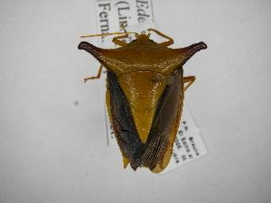 (Edessa arabs - INB0003959732)  @11 [ ] Copyright (2012) Jim Lewis Instituto Nacional de Biodiversidad