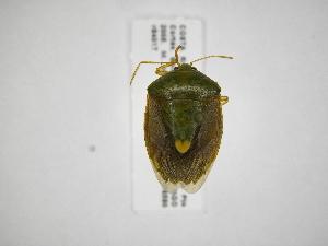 (Edessa sp24 - INB0003964536)  @14 [ ] Copyright (2012) Jim Lewis Instituto Nacional de Biodiversidad
