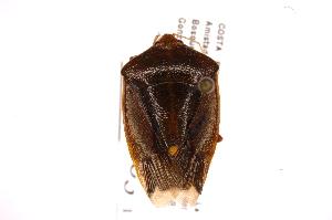 (Edessa pudica - INB0003983604)  @11 [ ] Copyright (2012) Jim Lewis Instituto Nacional de Biodiversidad