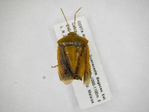 (Edessa lineigera - INB0003999478)  @11 [ ] Copyright (2012) Jim Lewis Instituto Nacional de Biodiversidad