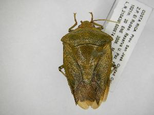 (Edessa jurgiosa - INB0004003551)  @15 [ ] Copyright (2012) Jim Lewis Instituto Nacional de Biodiversidad